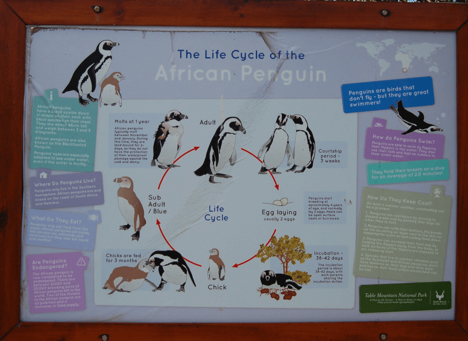 Boulders beach - pingvinkolonien
